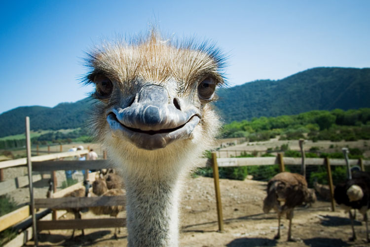 Ostrich smiling with teeth