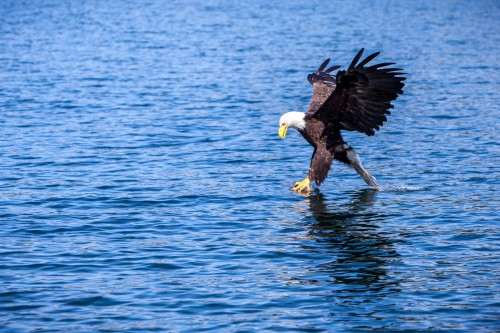 Bald Eagle fishing photos